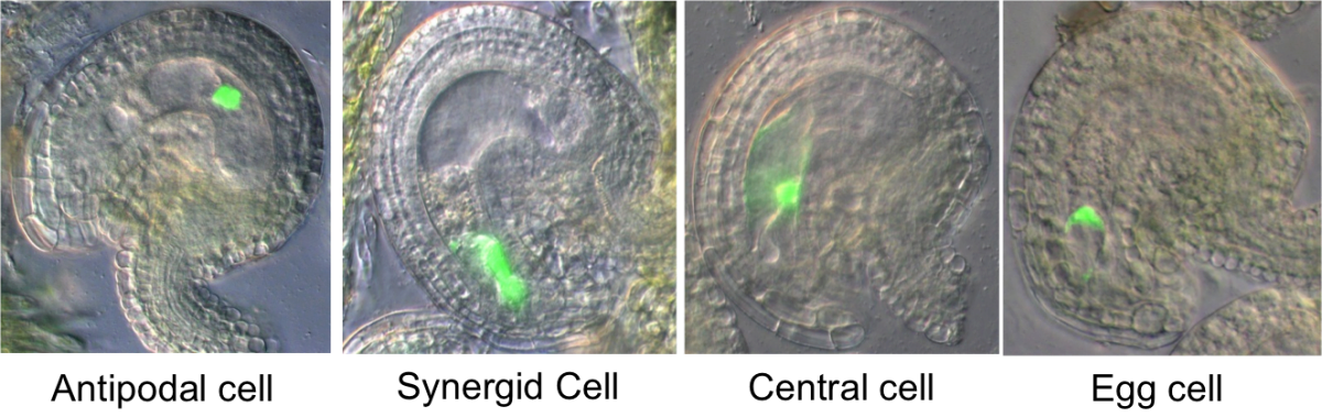 GFP staining of cells of the female gametophyte