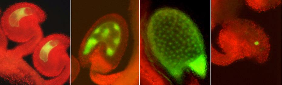 Arabidopsis ovules and seeds stained with GFP.  From left: MEDEA::GFP in the ovule,  MEDEA::GFP in early endosperm development of the seed, MEA::GFP in the endosperm of the maturing seed, DEMETER::GFP in the central cell of the ovule.  From Choi Y et al., 2002 (2002)