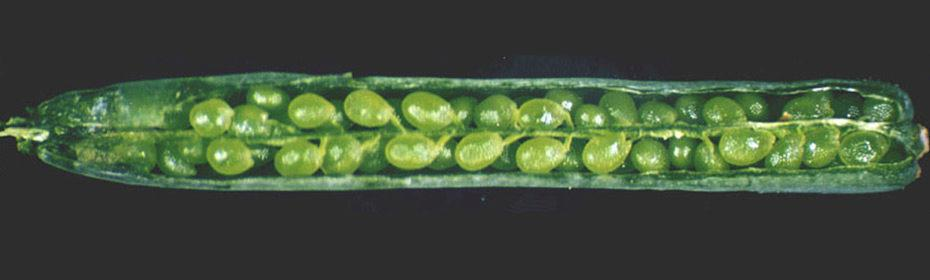 A wild-type arabidopsis silique, showing a full cohort of developing seeds