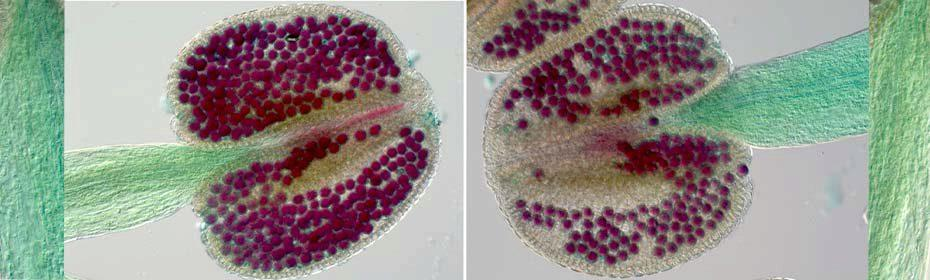 Pollen grains stained purple with Alexander stain, demonstrating their viability